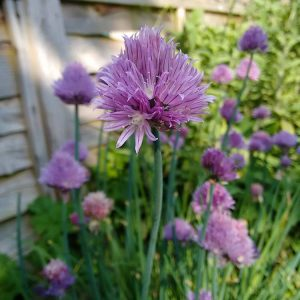chive plants in fluu flower
